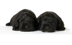 两只黑小狗 免版税库存图片
