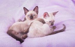 两只年轻暹罗小猫休息 免版税图库摄影