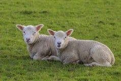 两只1月羊羔 库存图片