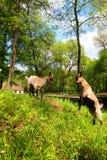 两只年轻棕色本国山羊战斗 图库摄影
