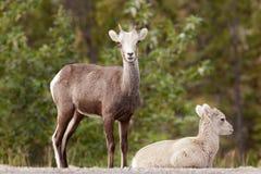 两只年轻石绵羊羊属dalli stonei观看 库存图片