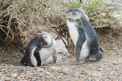 两只滑稽的小企鹅 库存照片