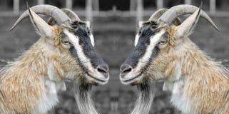 两只滑稽的山羊 免版税图库摄影