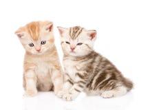 两只滑稽的平纹小猫 背景查出的白色 图库摄影