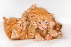 两只滑稽的矮小的红色头发小猫 库存图片