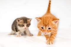 两只滑稽的矮小的红色头发小猫 免版税库存照片