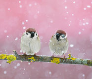 两只滑稽的逗人喜爱的鸟麻雀坐分支在snowf期间 免版税库存照片