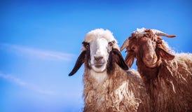 两只滑稽的绵羊 库存图片