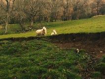 两只绵羊吃草在领域的,威尔士 库存照片
