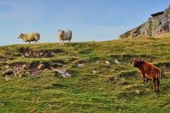 两只绵羊和一头母牛在一个象草的土坎 图库摄影