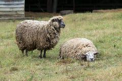 两只绵羊在牧场地 免版税库存照片
