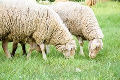 两只绵羊本质上,在草甸 免版税库存图片