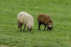 两只绵羊牧场地在草甸 库存图片