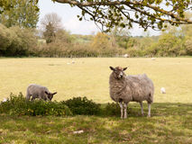 两只绵羊,母亲和羊羔,在一个领域在看起来的树下逗人喜爱 免版税库存照片