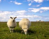 两只绵羊Closup在一个领域的在一个明亮,晴天 库存照片