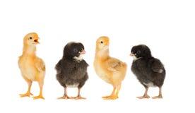 两只黄色鸡和夫妇黑色 免版税图库摄影