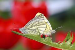两只蝴蝶坐一个绿色草甸在夏天 免版税库存照片
