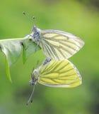 两只蝴蝶坐一个绿色草甸在夏天 库存图片