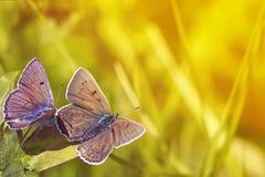 两只蝴蝶坐在明亮的晴朗的背景的草 免版税库存照片