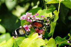 两只蝴蝶特写镜头一橙色黑和一黄色白色上色了两个坐一朵桃红色花 图库摄影