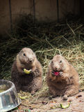两只黑被盯梢的草原土拨鼠吃果子 免版税库存图片