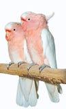 两只主要米歇尔美冠鹦鹉 库存图片