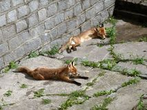 两只说谎的狐狸在加里宁格勒动物园里  库存照片