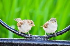 两只麻雀坐,谈话 库存照片
