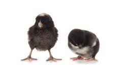 两只黑鸡 库存照片