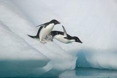 两只Adelie企鹅采取倾没入从一座南极冰山的海洋 库存图片