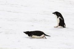 两只Adelie企鹅,一个走,滑在它的腹部的一 图库摄影
