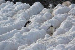 两只Chinstrap企鹅在南极洲 图库摄影