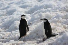 两只Chinstrap企鹅在南极洲 库存图片