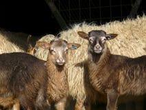 两只Drent希斯羊羔,站立在母亲绵羊前面 免版税库存图片