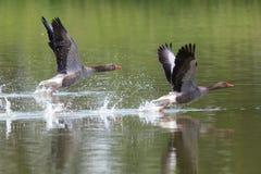 两只graylag鹅跑水表面上的分析服务公司分析服务公司 库存照片