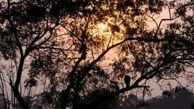 两只openbill鹳鸟剪影在树的 股票视频