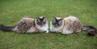 两只Ragdoll封印天猫座虎斑猫一起坐草草坪 免版税图库摄影