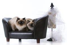 两只Ragdoll猫 库存图片