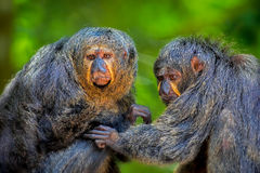 两只Saki猴子 免版税库存图片