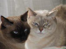 两只siaseme猫 免版税库存照片