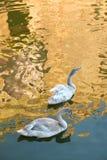 两只younf天鹅夫妇在湖的 免版税库存图片