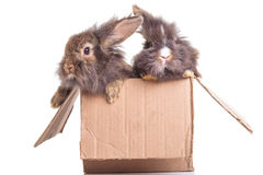 两可爱狮子头兔子bunnys坐 免版税库存图片