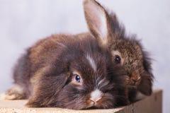 两可爱狮子头兔子bunnys说谎 库存照片