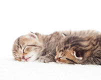 两可爱的平纹小猫 免版税图库摄影