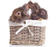 两可爱的狮子头兔子bunnys侧视图  免版税库存照片