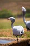 两台蓝色起重机粗碎屑paradisea喝在Waterhole的,南非 免版税图库摄影