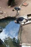 两台黑被加冠的起重机一个看的水坑 免版税库存照片