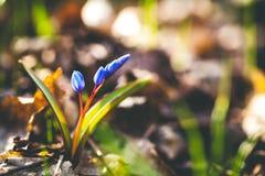两叶狂放的生长海葱Scilla bifolia,开花的春天蓝色宏指令开花 库存图片