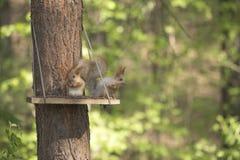两吃松果的灰鼠在的人做的饲槽 库存照片