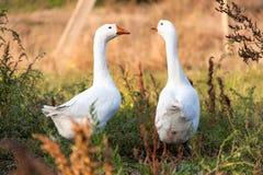 两吃草在草的鹅在乡下 库存照片